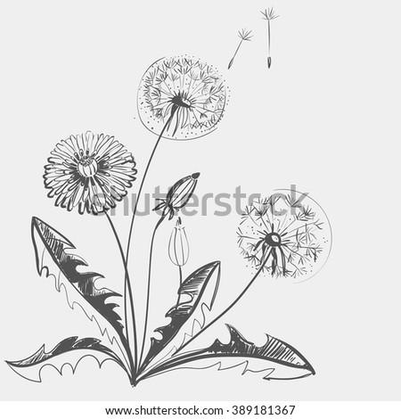 Hand drawing of a flower - dandelion. Light background dark pattern. - stock vector