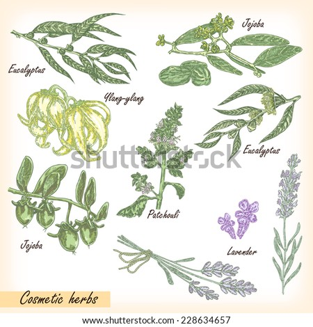 Hand drawn cosmetic herbs. Plant patchouli, jojoba, eucalyptus, lavender, ylang-ylang with flower and fruits vector illustration - stock vector