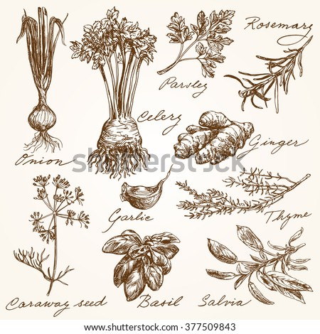 hand drawn herbs collection - stock vector