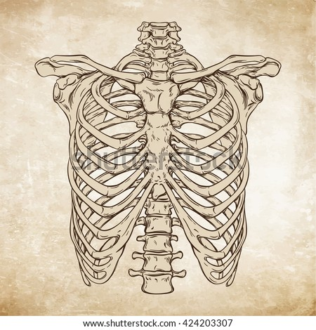 Hand drawn line art anatomically correct human ribcage. Da Vinci sketches style over grunge aged paper background vector illustration - stock vector