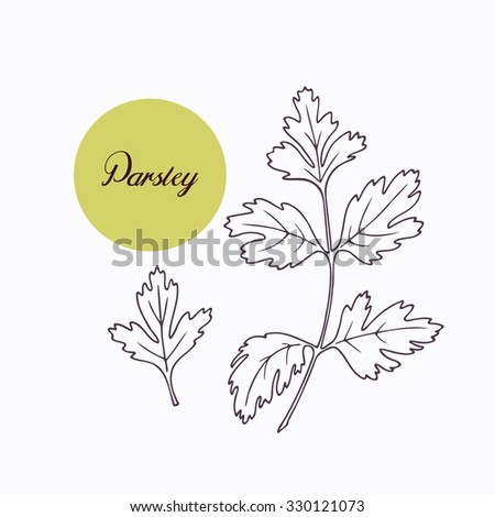 Hand drawn parsley branch with leaves isolated on white. Hand drawn spicy herbs. Doodle cooking ingredient for design. Hand drawn seasoning. Vector illustration - stock vector