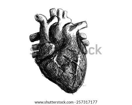 Human Heart Vector Black And White Human Heart Sketch Black