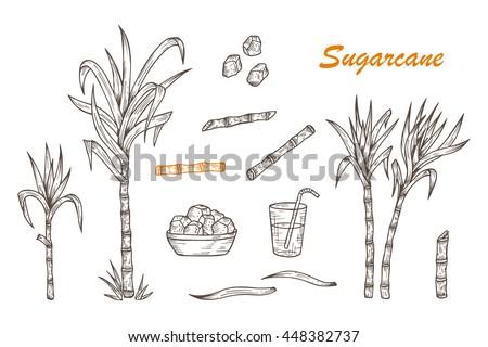 Hand drawn Sugar cane set. Sugarcane plants, Stalks, leaves, juice and sugar cubes. Vector illustration - stock vector