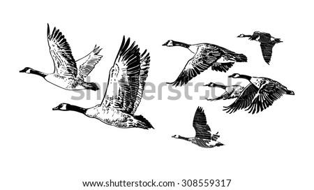 Wild Geese Drawing Flock of Wild Geese