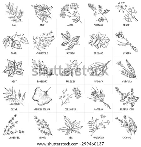Hand drawn vector set of herbs and spices vintage illustrations. Kitchen and drug plants collection. Oregano, ginger, mint, rosemary, parsley, spinach, curcuma, olive and others. Monochrome drawing. - stock vector