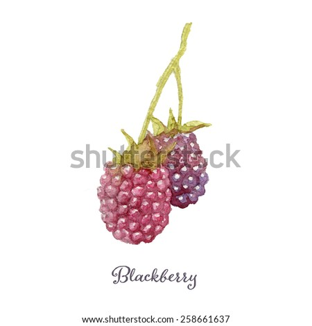 Hand drawn watercolor painting of blackberry. Vector illustration on white background, eps10 - stock vector