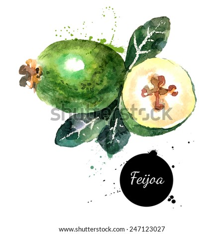 Hand drawn watercolor painting on white background. Vector illustration of fruit feijoa - stock vector