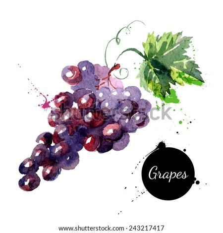 Hand drawn watercolor painting on white background. Vector illustration of fruit grapes - stock vector