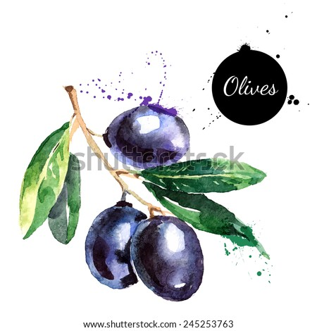 Hand drawn watercolor painting on white background. Vector illustration of fruit olives  - stock vector