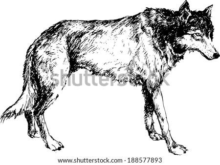 hand drawn wolf - stock vector