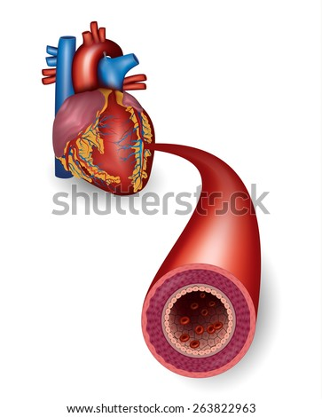 Healthy artery and heart anatomy - stock vector