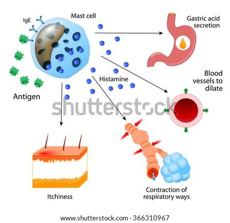Histamine. local immune responses. Allergic reaction - stock vector