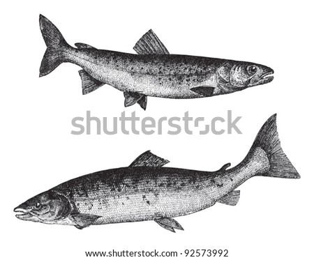 Huchen (Salmo Hucho) above and Atlantic salmon (Salmo salar) below / vintage illustration from Meyers Konversations-Lexikon 1897 - stock vector