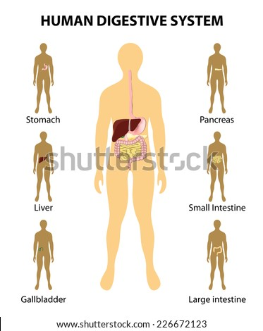 Human anatomy. Digestive System. organs highlighted on the silhouette of a human. Detailed diagram of various human organs: liver, colon, pancreas, intestine, stomach. - stock vector