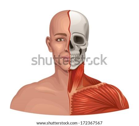 Human anatomy facial muscles and skull - stock vector