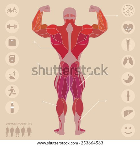 Human, anatomy, muscles, back, sports, fitness, medical, vector - stock vector