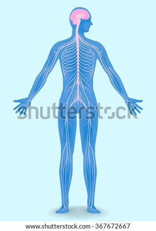human body silhouette and nervous system, vector illustration - stock vector