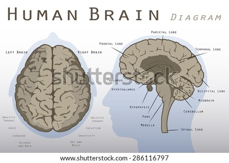 Human Brain Diagram - stock vector