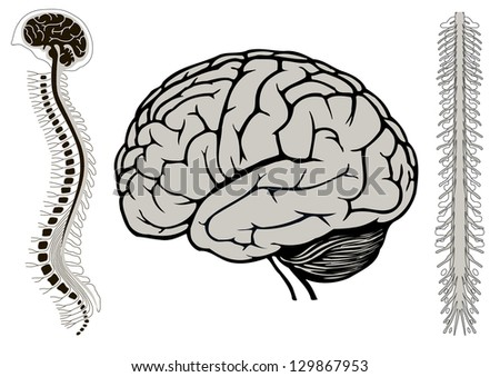 human brain model and spinal cord. vertebra eps10 vector illustration - stock vector
