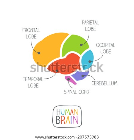 Human Brain Section Illustration - stock vector