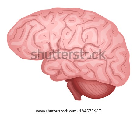 Human Brain_ Vector illustration - stock vector