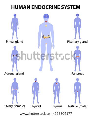 Human endocrine system. Human silhouette with endocrine glands. icons set.  - stock vector