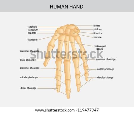 human hand - stock vector