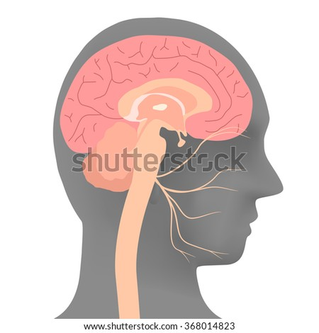 human head silhouette and facial nerve, vector illustration - stock vector