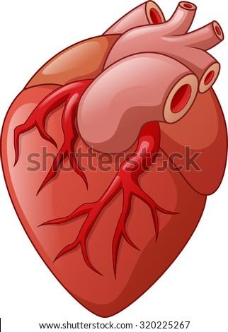 Human heart cartoon illustration - stock vector