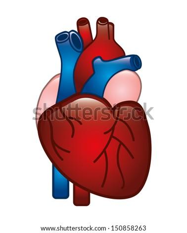 human heart design over white background vector illustration  - stock vector