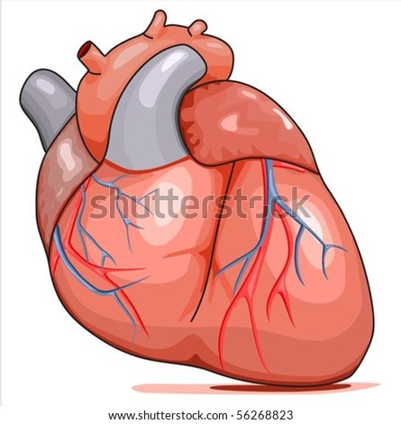 Human Heart. Illustration isolated on white background. - stock vector