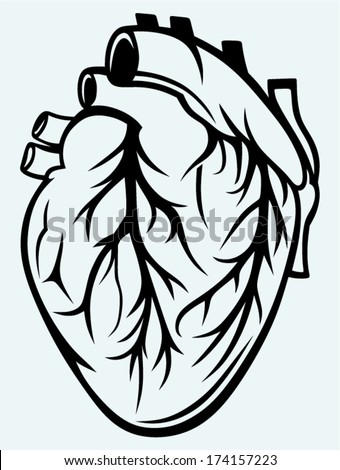 Human heart isolated on blue background - stock vector