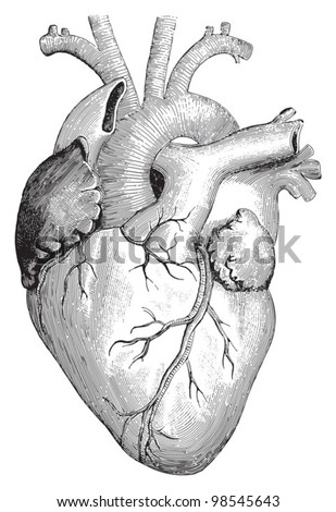 Human heart / vintage illustrations from Die Frau als Hausarztin 1911 - stock vector