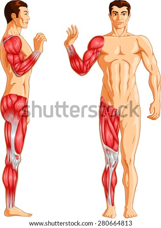 Human Limb Muscles - stock vector