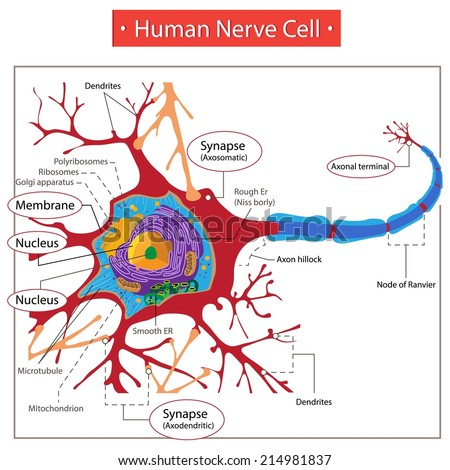 Human Nerve Cell. - stock vector