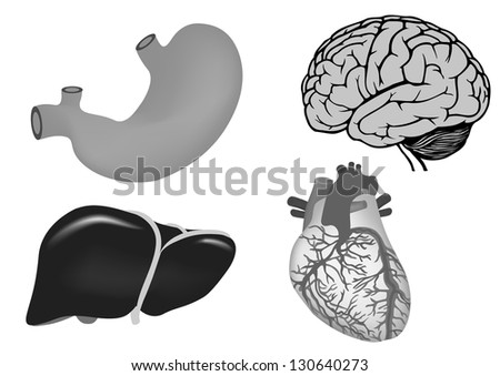 human organs. human heart, liver, stomach and brain. vector medicine illistration - stock vector