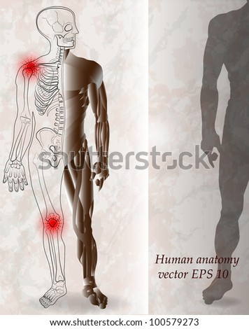 Human skeleton and muscle anatomy - stock vector
