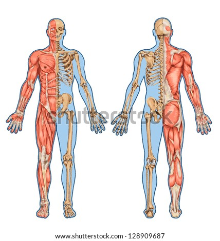 human skeleton from the posterior and anterior view - didactic board of anatomy of human bony and muscular system - stock vector