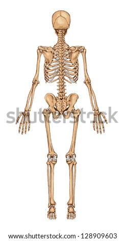 Human Skeleton From The Posterior View - didactic board of anatomy of human bony system - stock vector