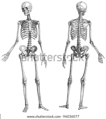 Human skeleton (male) / vintage illustration from Meyers Konversations-Lexikon 1897 - stock vector