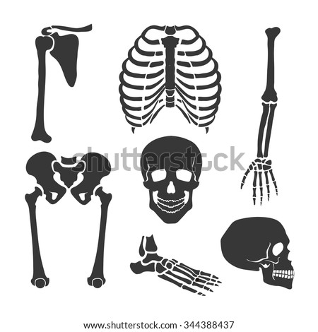 Human skeleton.  Orthopedic and spine, skull, hand and backbone illustration Vector set - stock vector