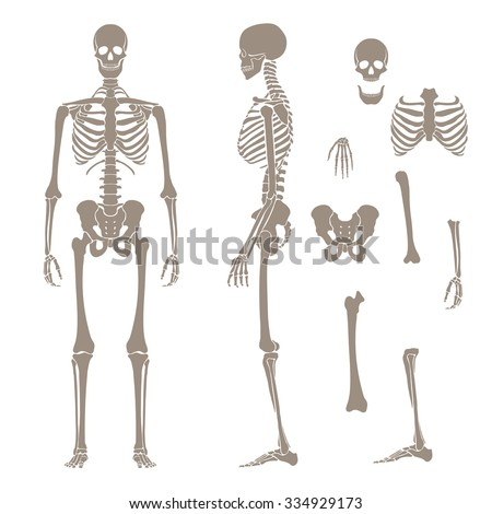 Human skeleton silhouette - stock vector