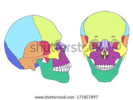 human skull anatomy, medical illustration, front and side view - stock vector