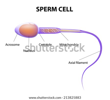 Human Sperm cell Anatomy - stock vector