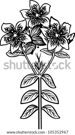 Hypericum engraving picture. Vector illustration - stock vector