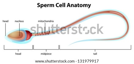 Illustartion showing the structure of a sperm cell - stock vector