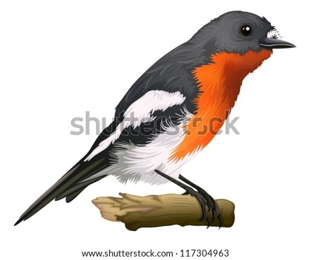 Illustration of a Petroica phoenicea on a white background - stock vector