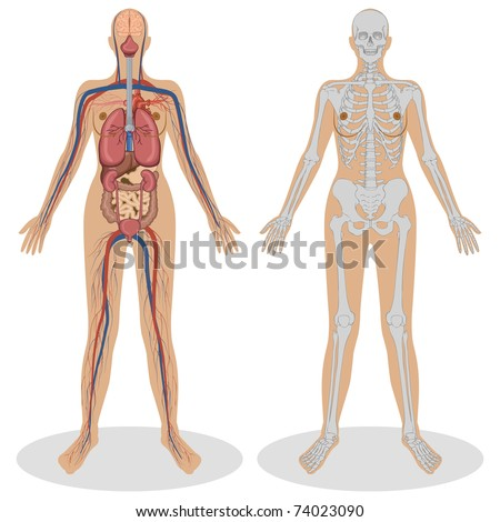 illustration of human anatomy of woman on white background - stock vector