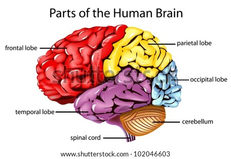 Illustration of parts of the brain - stock vector