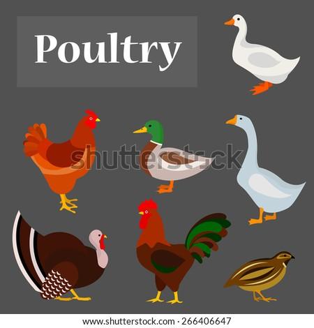 Illustration of poultry: goose, hen, drake, white duck, gobbler, quail. - stock vector